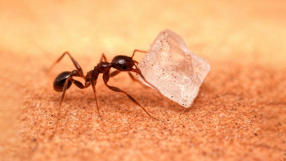 do carpenter ants eat sugar Awesomepest
