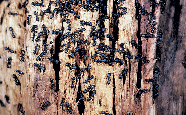 Identifying Characteristics & Behavior of Carpenter Ants by Awesomepest