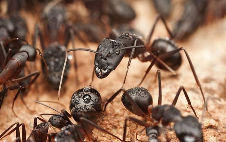 Installmart Habits of Carpenter Ants
