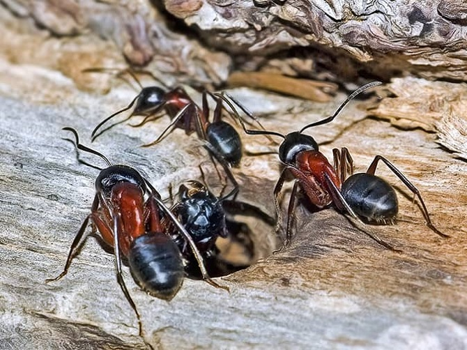 Interesting Facts about Carpenter Ants Awesomepest