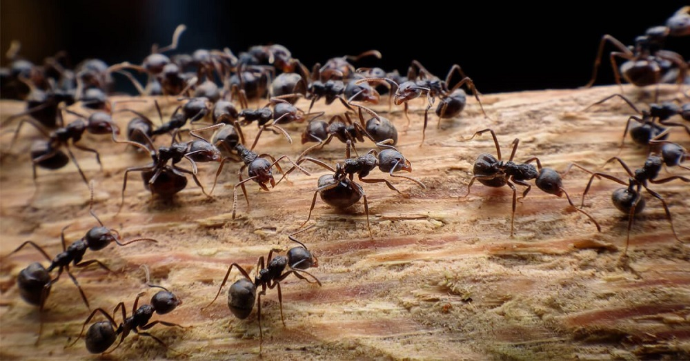 Particular Habits of Carpenter Ants Awesomepest