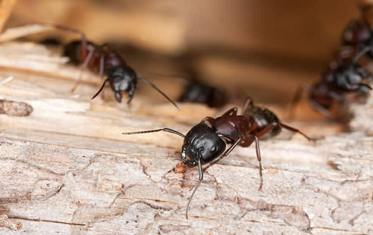 carpenter ants eating wood Awesomepest