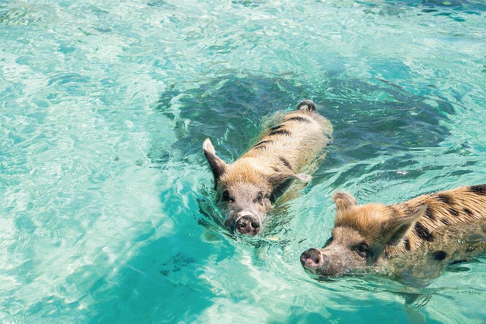 Bahamas: Schwimmende Schweine