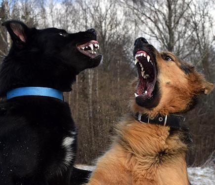 Aggressivität von Hunden