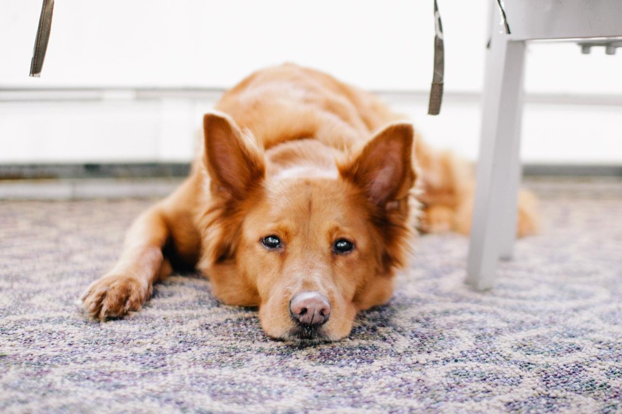 Blir hundar och katter sjuka av elektrosmog?
