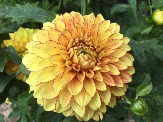 Blomst Georgine