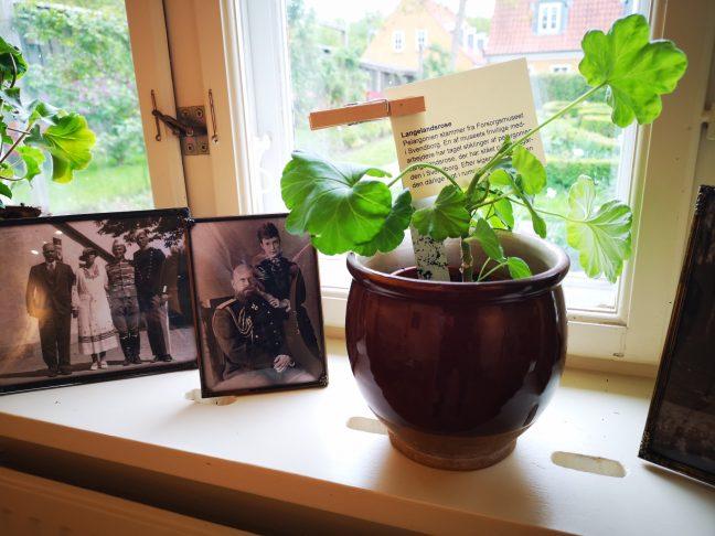 Pelargonie og rammer med billeder i vindueskram