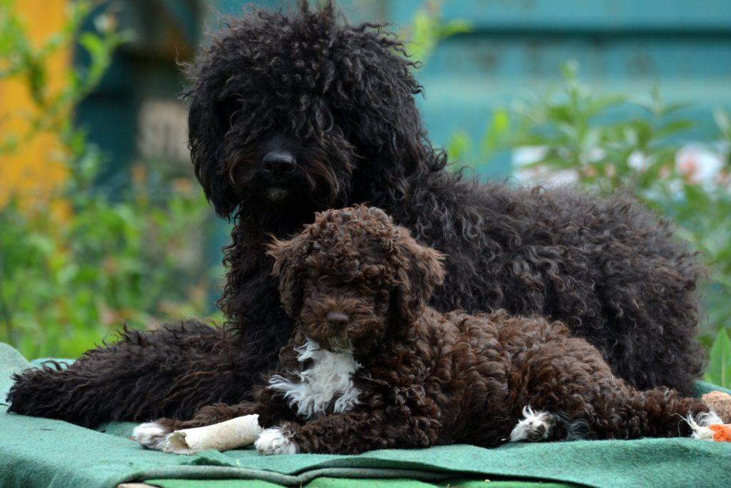 Familienhund Barbet