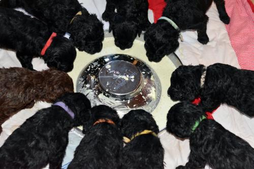 Wasserhund Welpen der Rasse Barbet