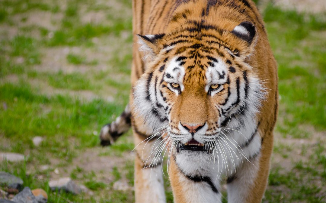 The Striped Royals: Tigers in India Today