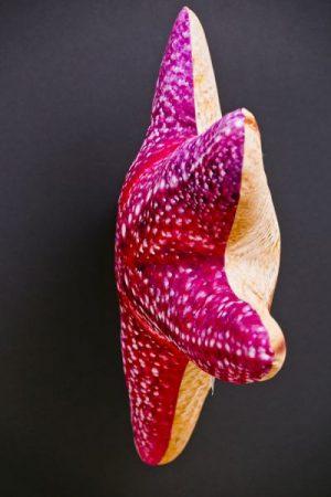 Gaby Zeester (Starfish)viskussenVisknuffel
