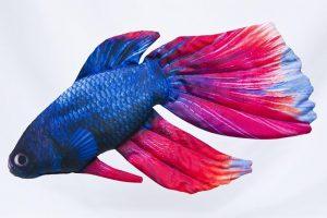 Gaby Kempvis (Siamese fighting fish) Visknuffel / viskussen