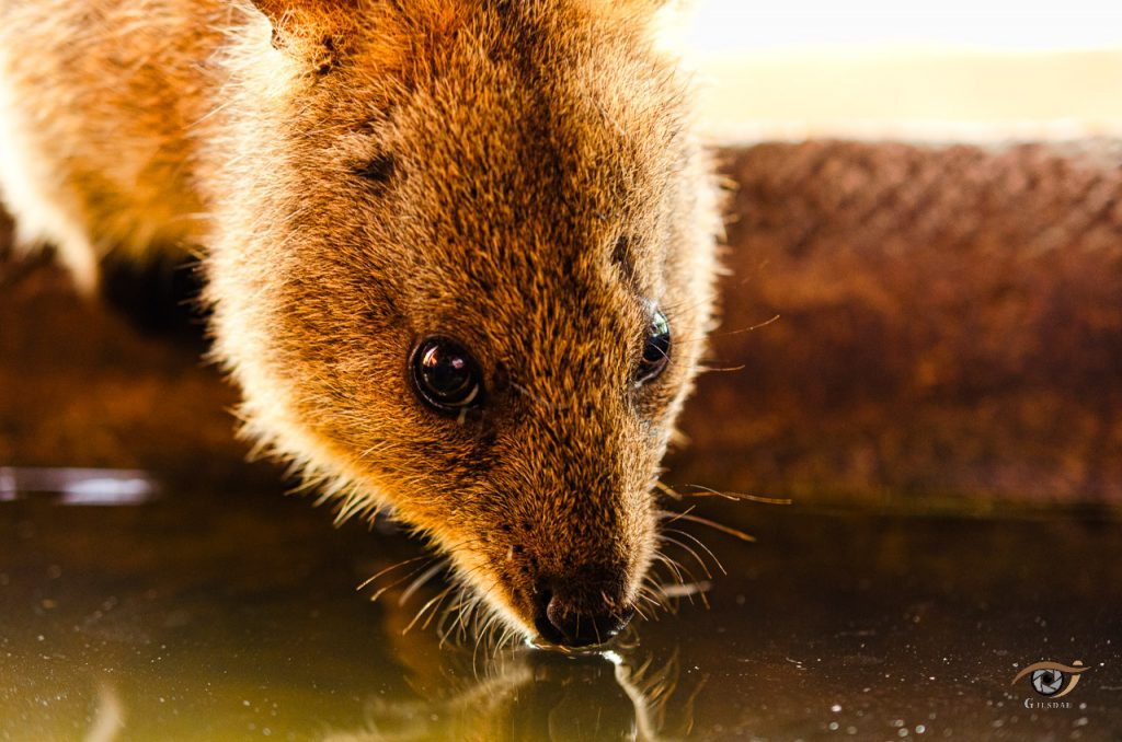 zoo photography copyright - Quokka