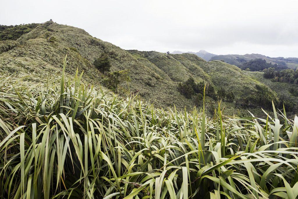 De vlasplant op Saint Helena. Foto: Milene van Arendonk