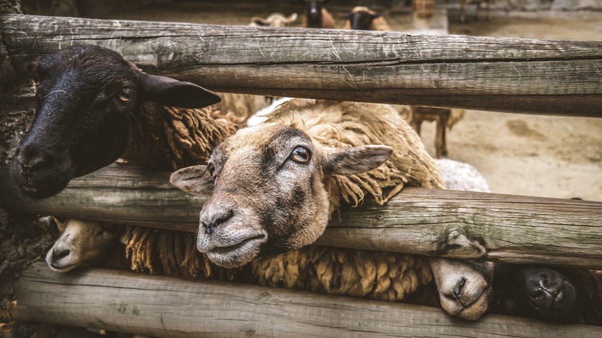 Hvorfor lukke ulvene ind til fåreflokken