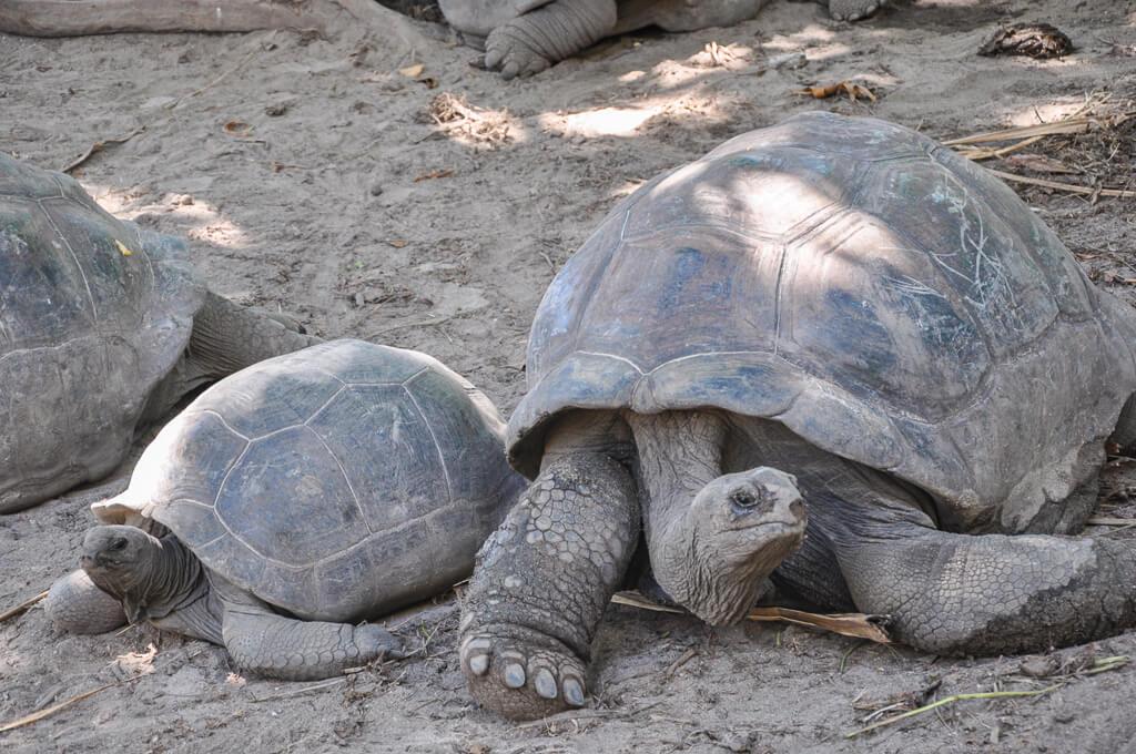 Gigantic tortoises in Seychelles Botanical Gardens