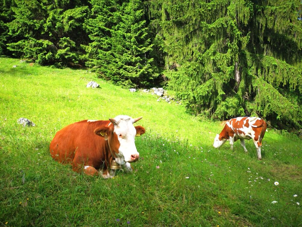 Alpine Cows sitting on the greass