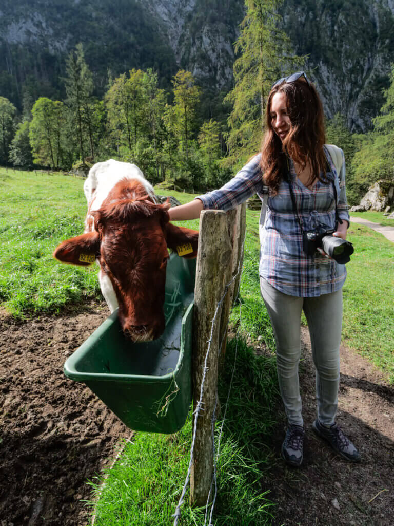 Petting a cow in Bavarian Alps