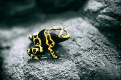 yellow frosch