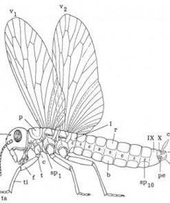 Vingede insekter