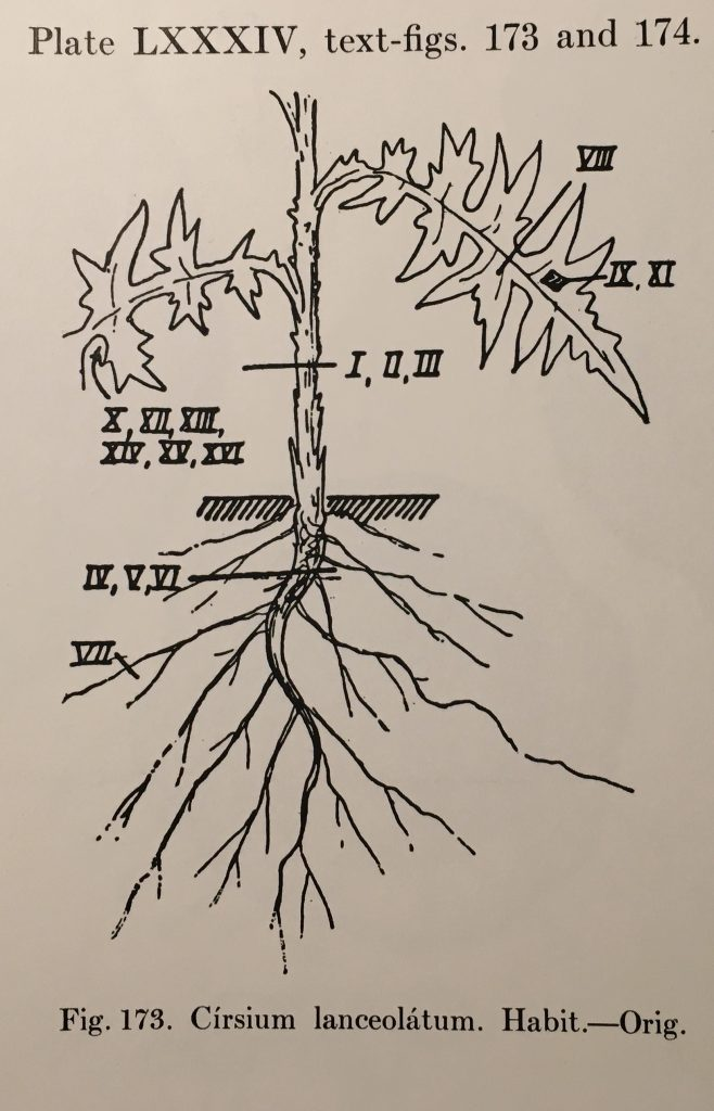 Cirsium lanceolata