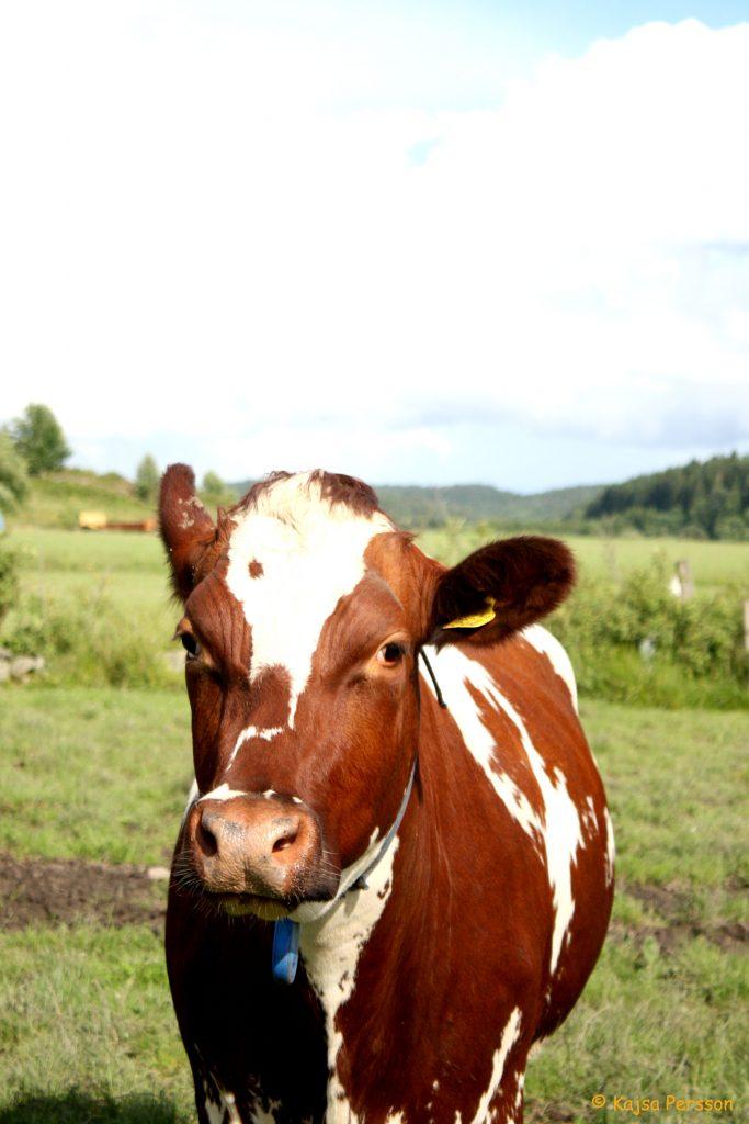Kor är inte roadkill, men att äta roadkill är galen fakta om mat som är sann i Montana