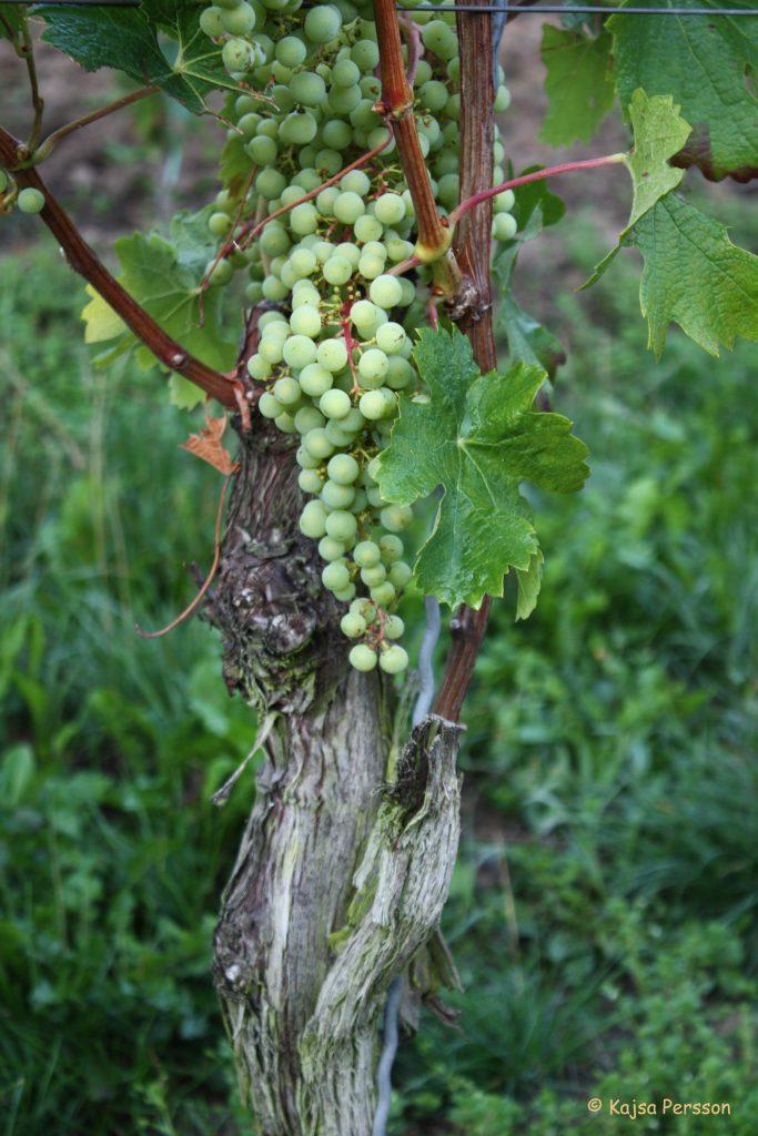 Vinrankor nere i Moseldalen