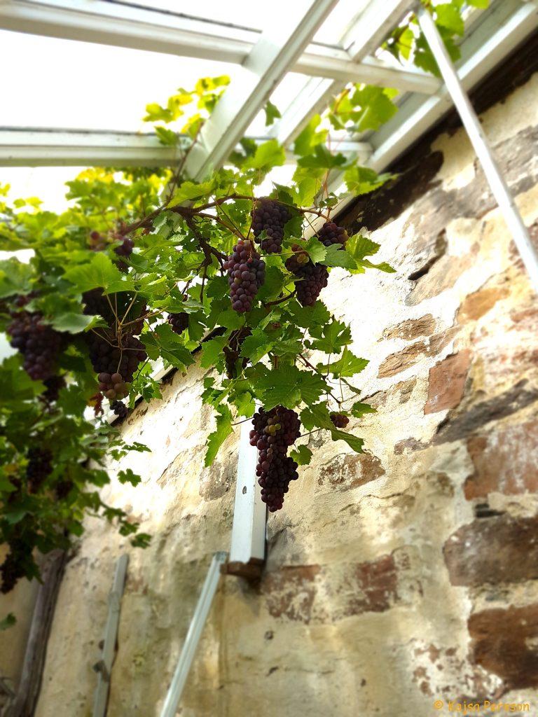 Vinranker, orangeri