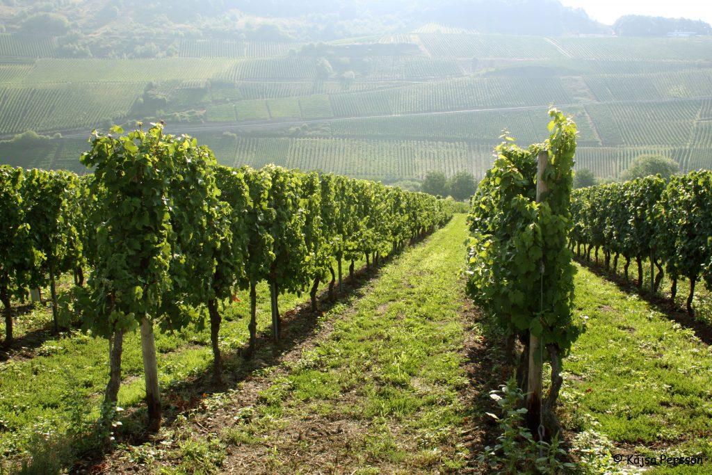 Vinrankor, vingård, Moseldalen, Tyskland