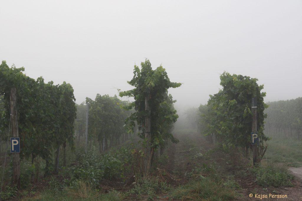 Tidig morgon på vingården