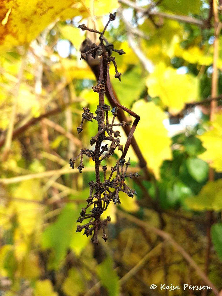 Vindruvorna har skrumpnat ihop
