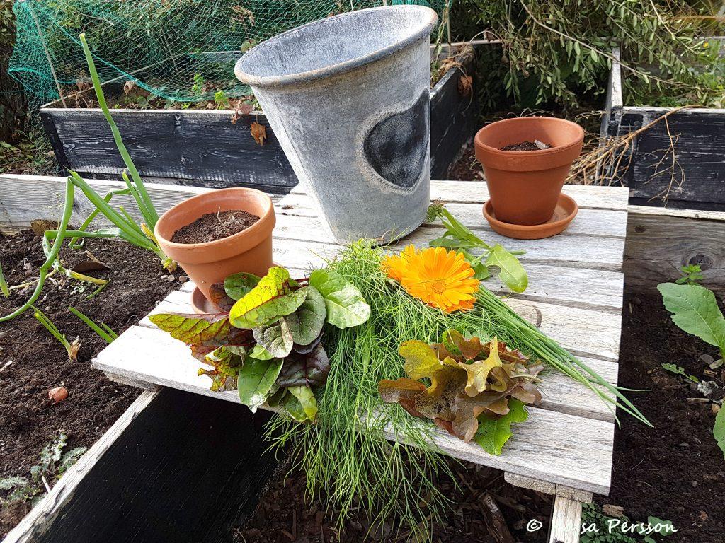 Grönsaker från vår höstskörd i trädgården