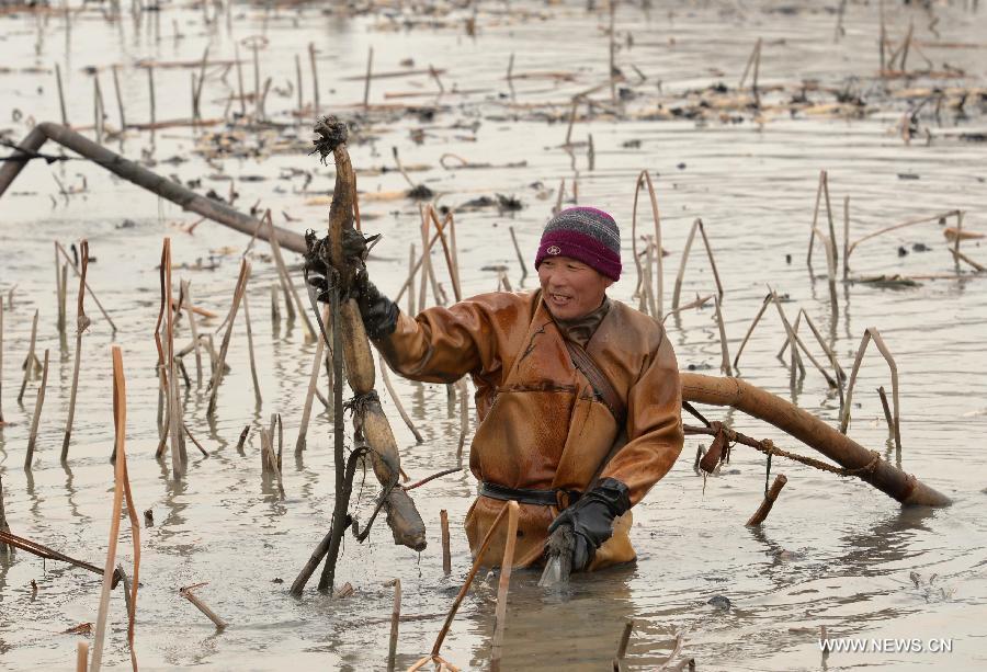 Kinesisk Lotus plockare i vatten