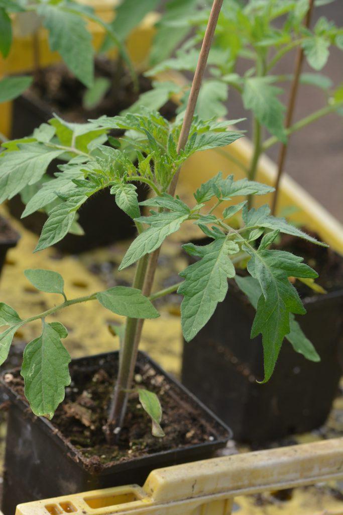 säsongen har böjat och vi sår tomatplantor i växthuset