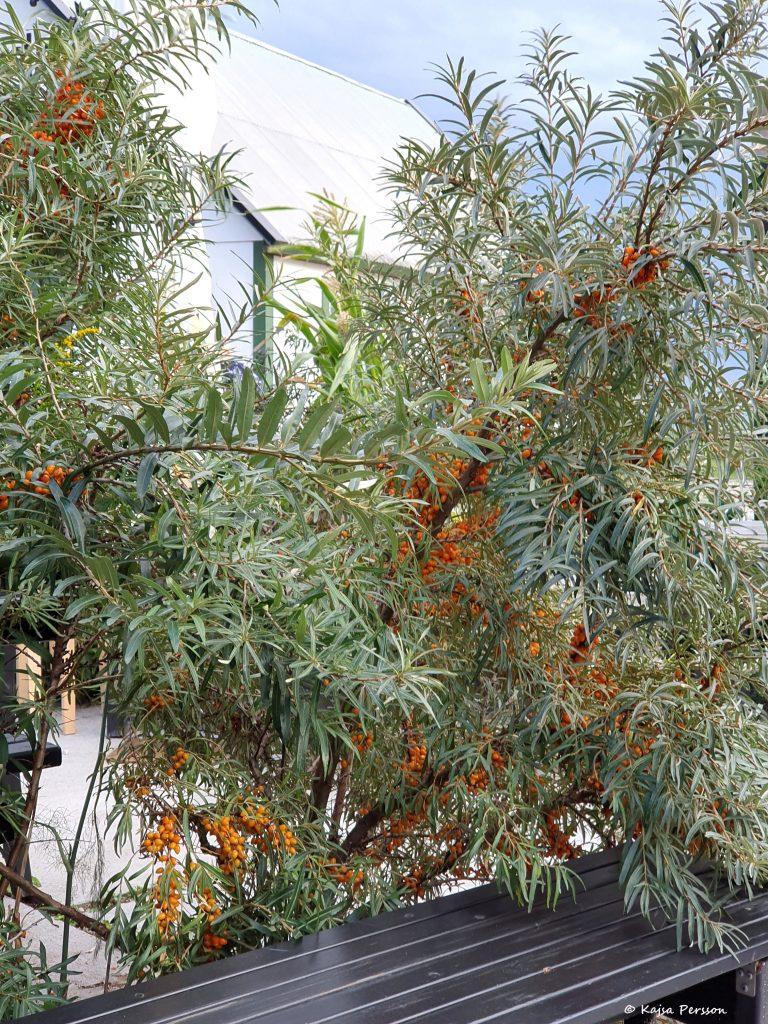Havtornsbuske full med orangea bär framför ett brunt bord på Hörte Brygga