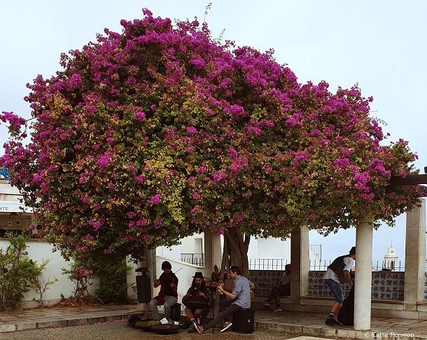 Musiker under ett stort Bougenvilla träd