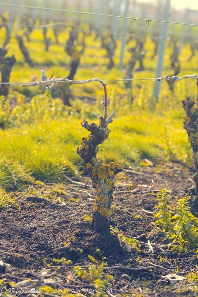Positiva känslor när det spirar ute på vinfältet