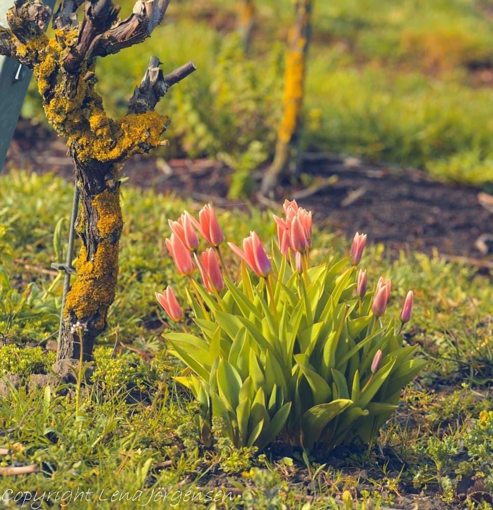 Härliga vårkänslor när tulpanerna går i blom