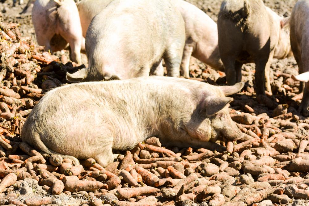 Mumsande grisar på Ekebogård