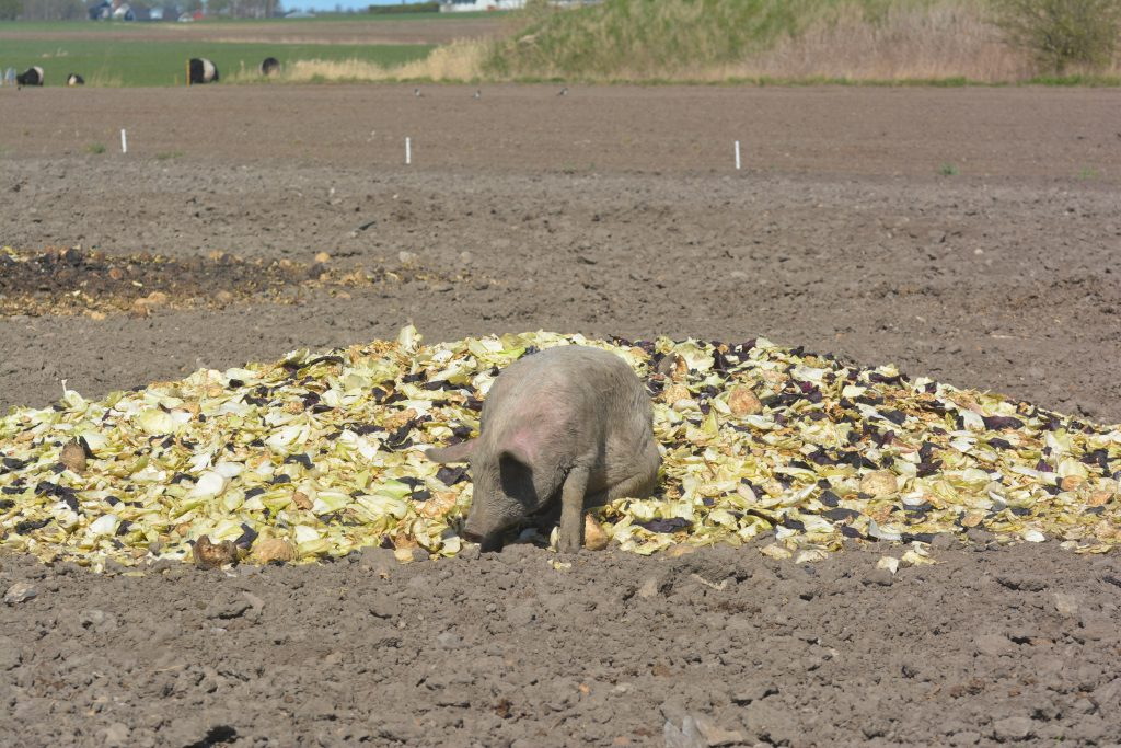 Lycklig gris i en kål hög på Ekebogård