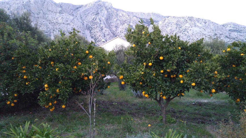 Alla har apelsiner och citroner i sina trädgårdar i Kroatien