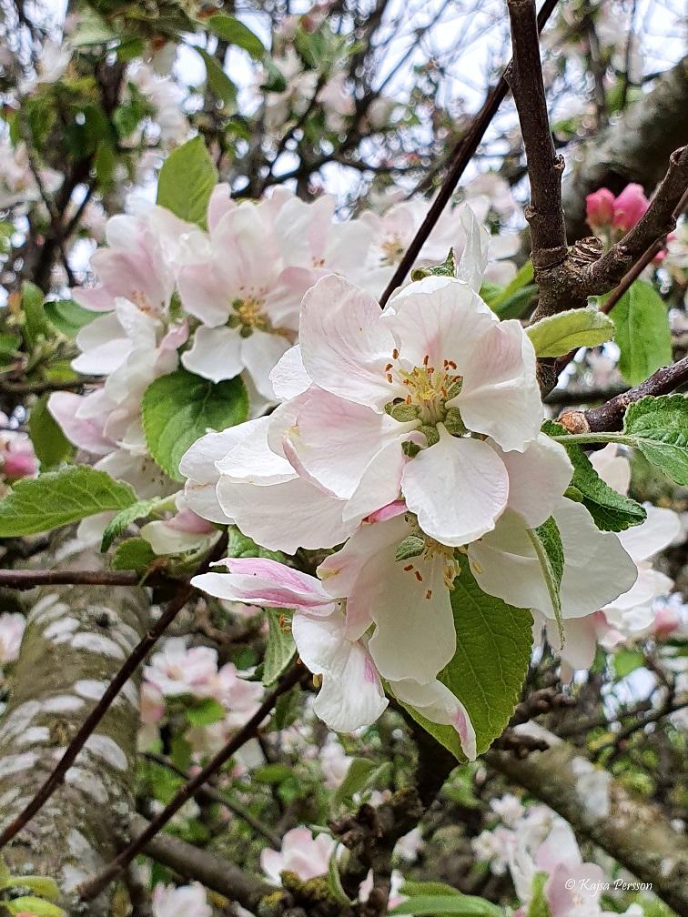 Äppleblommor i maj i koloniträdgården