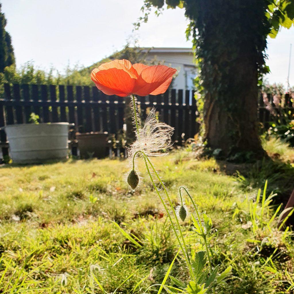 Solig morgon med en blommande vallmo