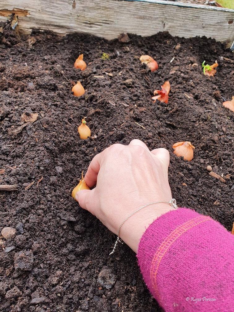Plantera gul lök maj i koloniträdgården