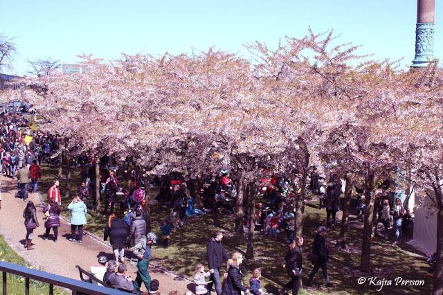 Sakurafestivalen i Köpenhamn 2017 med körsbärsblommor i full blomm
