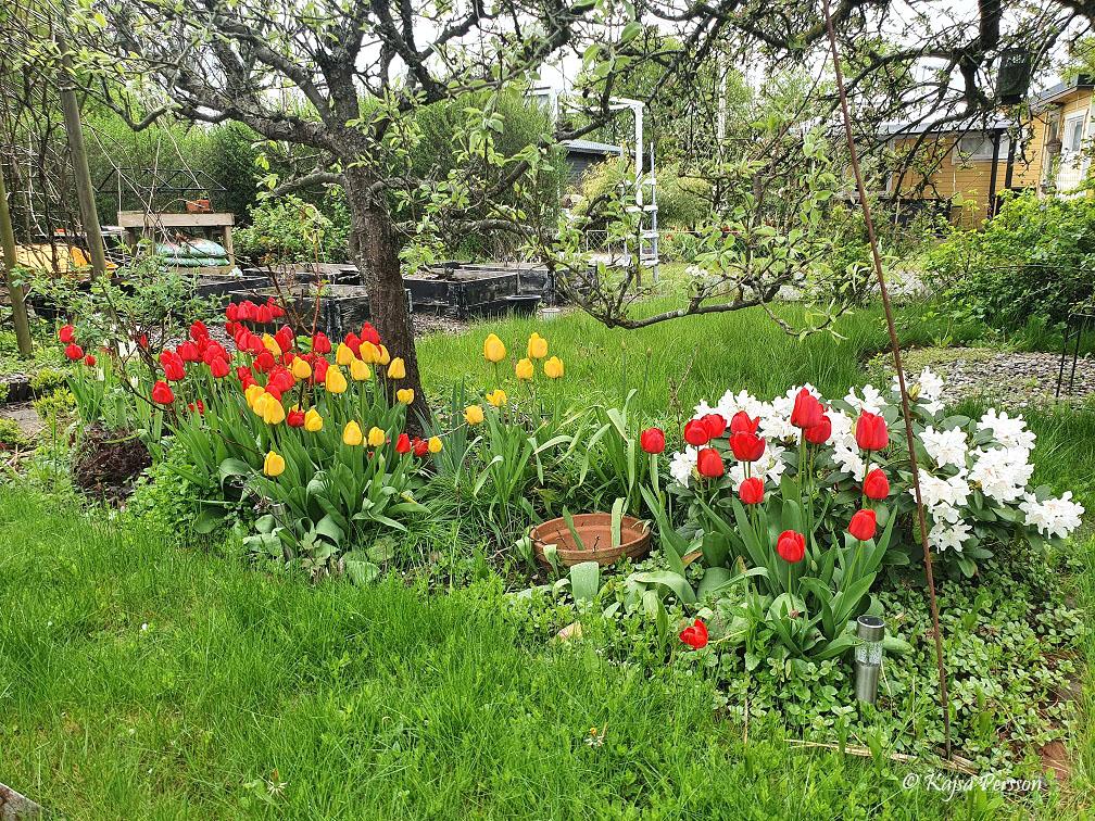 Maj i koloniträdgården och tulpanerna förför i bland kaoset