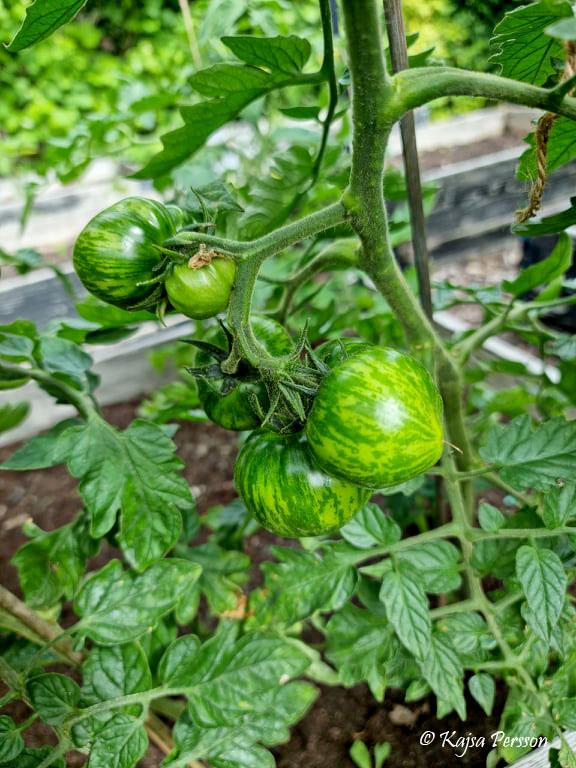 Zebrarandiga tomater i köksträdgården