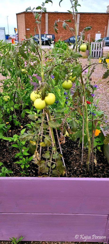 Tomatodling i lila pallkrage
