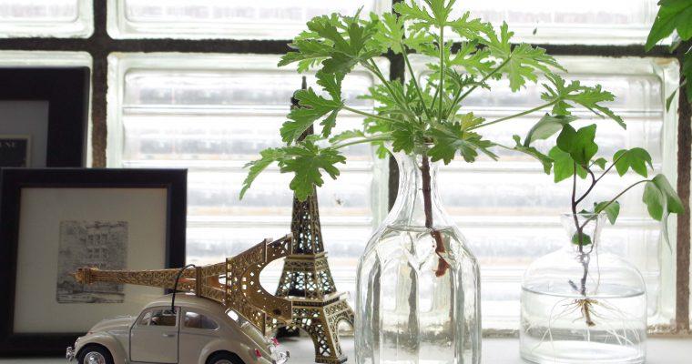 Ställa sticklingar i vatten eller plantera direkt i jord?