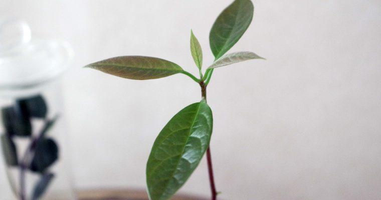 Uppdatering avokadoplanta – hur har det gått?